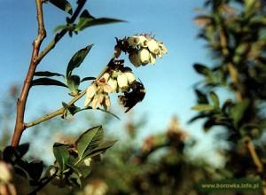 Kwitnąca borówka
