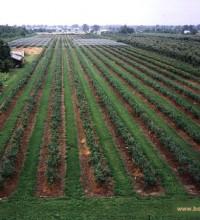Młoda plantacja latem