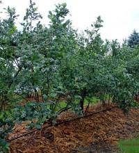 Owocujące krzewy