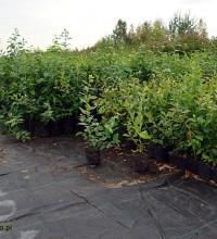 Sadzonki borówki w doniczkach p-9