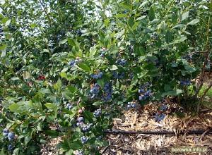 Owocujący krzew