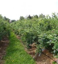 Owocujący Bluecrop