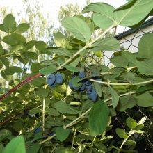 Owoce jagody