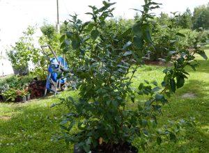 Dorosłe krzewy w 100 l donicach